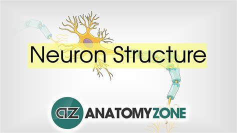 neuron structure neuroanatomy basics anatomy tutorial
