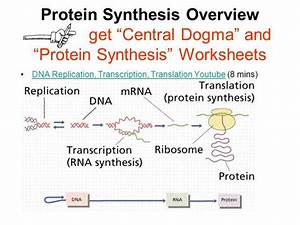 32 Proteins Synthesis Translation Worksheet Answers