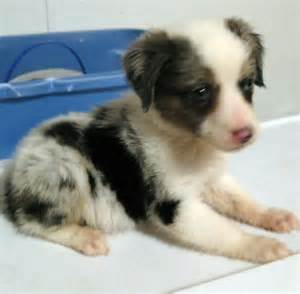 Cute Mini Australian Shepherd Puppies