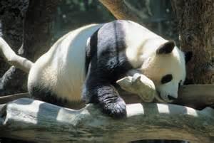 Zoo Animals Panda Bear