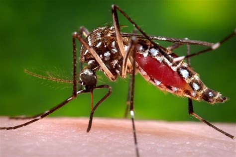 what is about mosquitoes aedes aegypti meet the mosquito spreading zika virus panic nbc news
