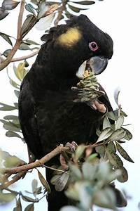 yellow tailed black cockatoo | Australian Animals | Pinterest