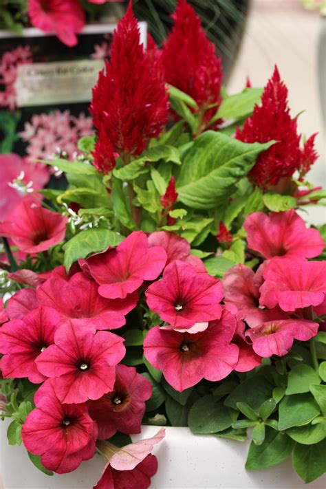 plants and flowers pictures top red annual flowers for your garden hgtv