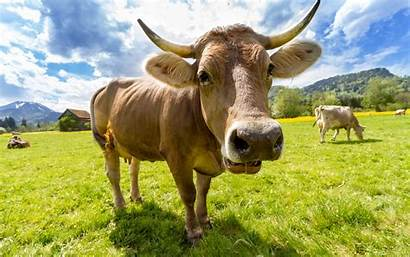 Dairy Cow Swiss Farm Cattle Animals Livestock