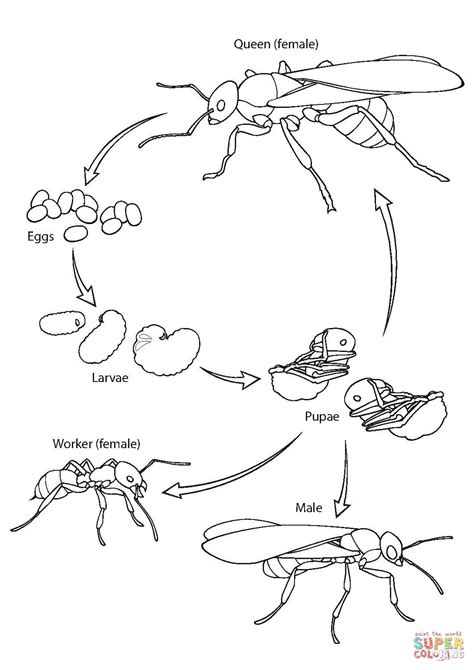 Ant Life Cycle coloring page   Free Printable Coloring Pages