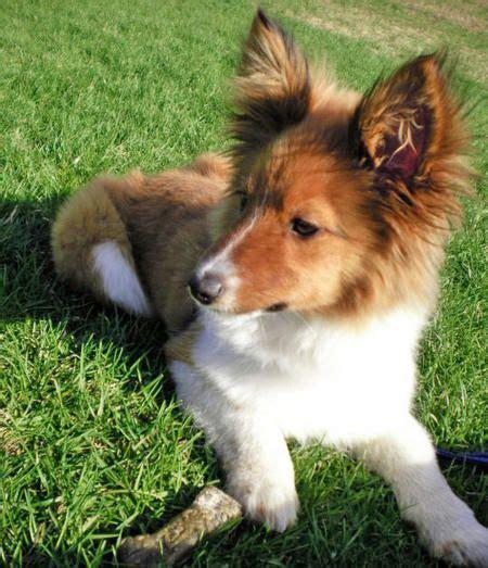 papillonminiature shetland sheepdog dog cross breeds