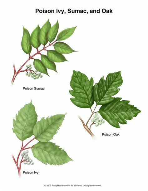 poison oak poison ivy oak sumac causes symptoms treatment poison ivy oak sumac