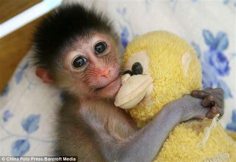 foto menggemaskan seekor bayi monyet dan boneka monyetnya
