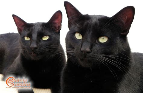 Black Cats | Catnip Camera