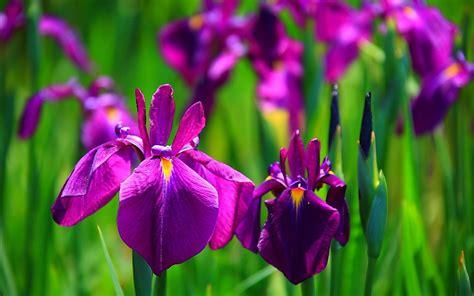iris flowers the black mamba iris flower wallpapers