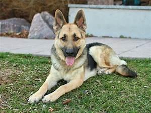 jimmy german shepherd dog