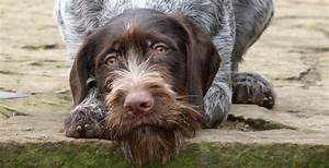 German Wirehaired Pointer Puppies   Cute Puppy and Dog ...
