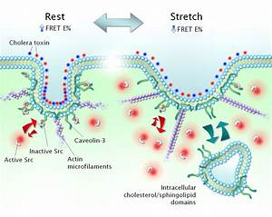 Caveolae Respond To Cell Stretch And Contribute To Stretch