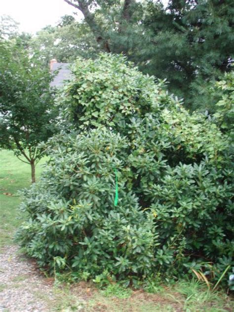 rhododendron trees for sale trees for sale dale tree movers tree farm dale tree movers tree farm
