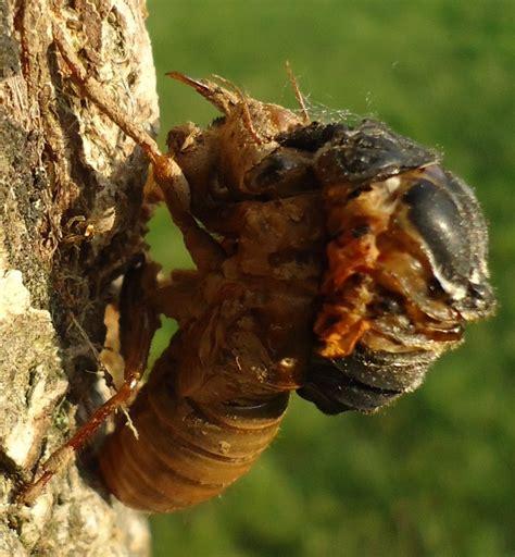 Cicada Shedding Its Exoskeleton by Wiki Arthropod Upcscavenger