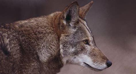 red wolf shot  killed  national wildlife refuge