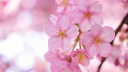 Sakura Wallpapers Wonderful
