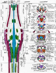 In Vertebrate Anatomy The Brainstem  Or Brain Stem  Is The