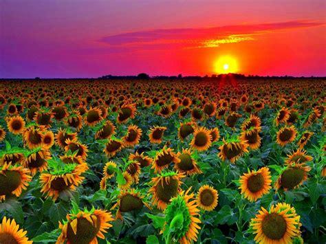 sunflower field sunset wallpaper hd  wallpaperscom