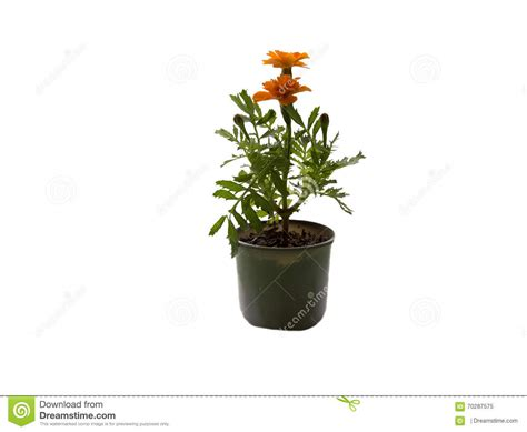 fleur de plante d int 233 rieur photo stock image 70287575