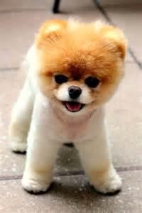 Boo Cutest Dog Ever