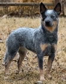 red heeler dingo dog breeds picture
