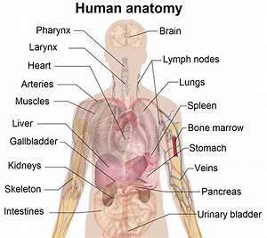 Kidney In Body Diagram Kidney Location Human Body Diagram