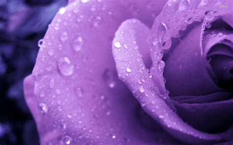 Purple Rose Hd Wallpapers