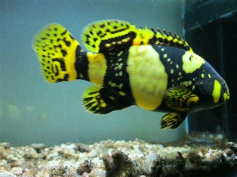 bumblebee grouper fish freshwater goliath aka soon coming r08