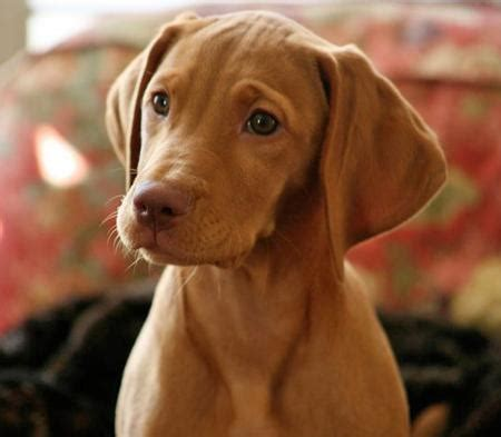 When Do Vizslas Shed Their Puppy Coat by Akc Vizsla Puppies For Sale Picking Your Pup Golden