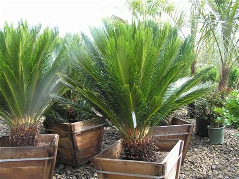 sago palm sago palm the trees planted in the pots