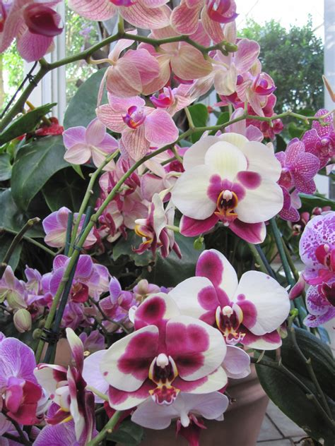 what to do when your orchid flowers fall where to cut an orchid spike brooklyn orchids