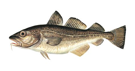 Atlantic Cod (farmed)