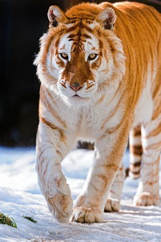 Golden Tiger Walking The Snow Nature