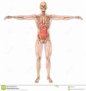 Human Anatomy Skeleton And Organs Stock Illustration