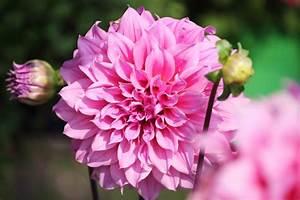 Blumen Lange Blütezeit : bl tezeit der dahlien so verl ngern sie sie ~ Michelbontemps.com Haus und Dekorationen