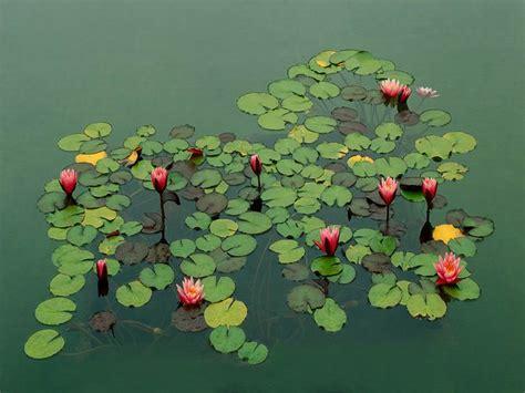 fleurs et plante du lac fleurs et plantes du lac my