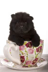 Teacup Chow Chow Puppies