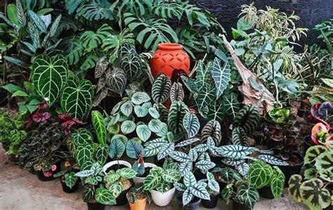 jenis tanaman hias  bikin rumah kamu kece update
