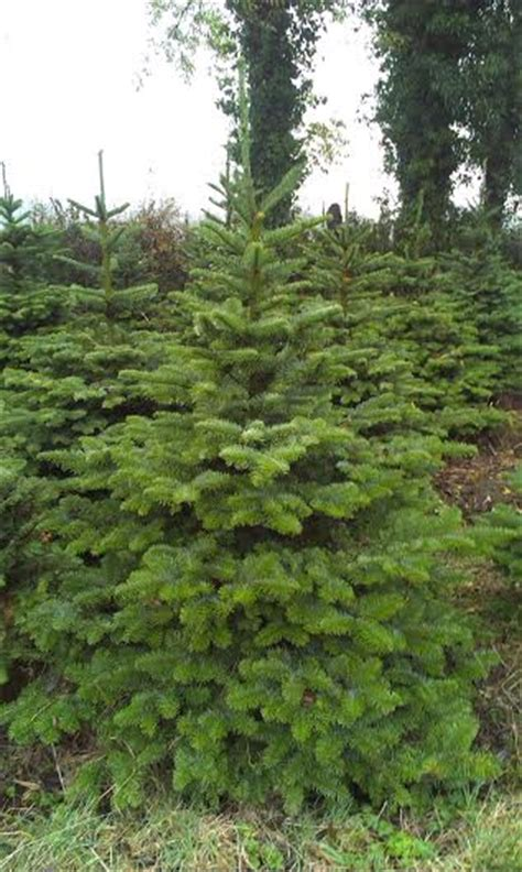 what type of christmas tree lasts the longest types of real trees galway trees galway trees