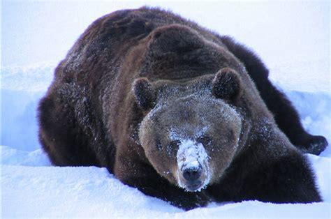 cuisine formation ours brun zoo de ranua laponie 11 photos d 39 animaux