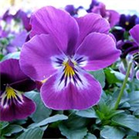 fiori viola significato nomi di fiori viola significato fiori nomi di fiori