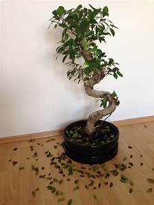 Ficus Benjamini Verliert Alle Blätter : hilfe bonsai verliert m chtig viele bl tter bonsai ~ Lizthompson.info Haus und Dekorationen