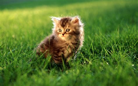 Hd Widescreen Cat Wallpaper Wallpapersafari
