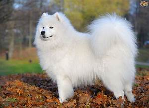 Some more information about the Samoyed dog breed | Pets4Homes