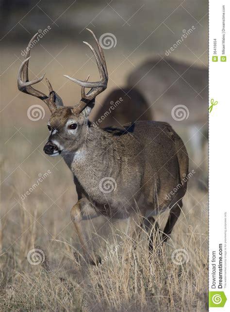 whitetail deer running  prairie stock images image