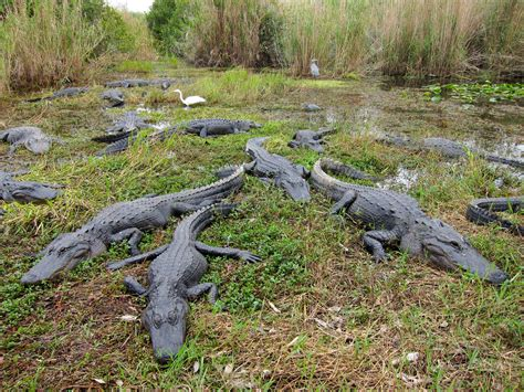 American alligators (Alligator mississippiensis) from Ever ...