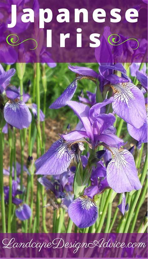 great purple perennials purple perennials purple