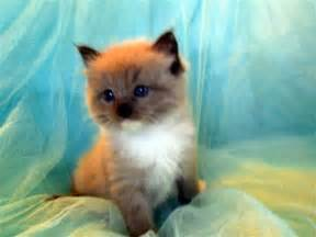 Ragdoll Siamese Cats for Sale