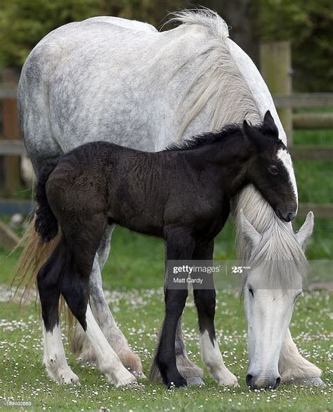 shire horse foal mother orla head rest week horses rare crealy filly appearance makes born adventure park breed cute bred